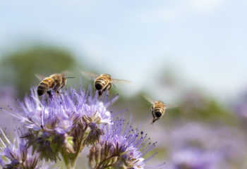 three bees flying away from a native flower