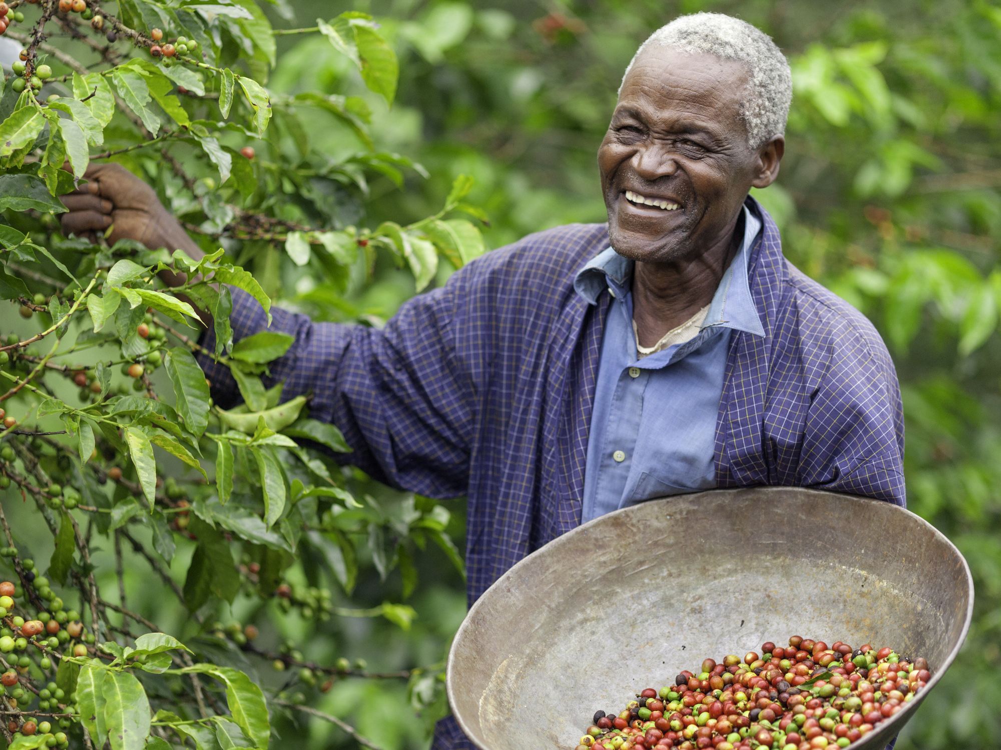 Smiling Kenyan man picking coffee on a shade-grown coffee plantation